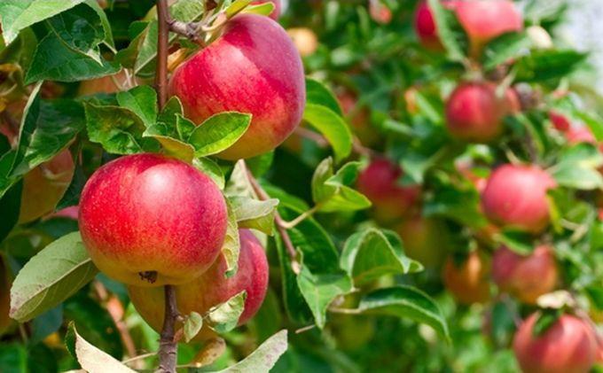 Polskie jabłko