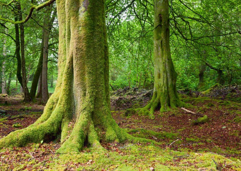 Nie ma już w Polsce starych drzew